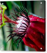 Hot Red Passion Acrylic Print