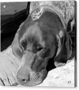 Hound Dog Acrylic Print