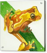 Hourglass Frog Acrylic Print