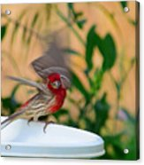 House Finch - 2 Acrylic Print