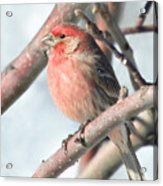 House Finch In An Apple Tree Acrylic Print