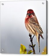 House Finch In Autumn Rain Acrylic Print by Laura Mountainspring