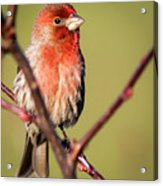 House Finch In Full Color Acrylic Print