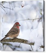 House Finch In Snow Acrylic Print