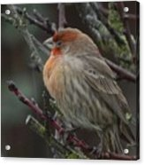 House Finch On A Rainy Day Acrylic Print
