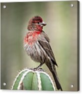 House Finch Perched On Cactus  Acrylic Print