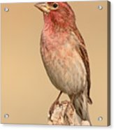 House Finch With Crest Askew Acrylic Print