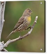 House Finch With Yellow Breast 1  Acrylic Print