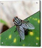 House Fly On Leaf Acrylic Print
