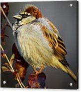 House Sparrow 1 Acrylic Print