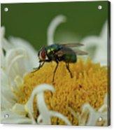 Housefly On Daisy Acrylic Print
