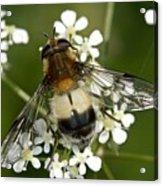 Hoverfly Leucozona Lucorum Acrylic Print