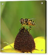 Hoverfly On Brown Eyed Susan Acrylic Print
