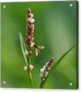 Hoverfly On Flower Acrylic Print
