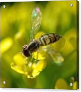 Hoverfly On Yellow Flower Acrylic Print