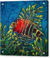 Hovering - Red Banded Wrasse Acrylic Print