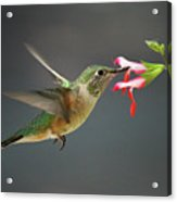 Hovering Hummer Acrylic Print