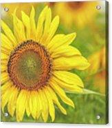How Do You Dew, Sunflower Acrylic Print