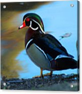 How Much Wood Could A Wood Duck Chuck Acrylic Print