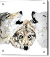 Howling Acrylic Print