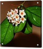 Hoya Carnosa Acrylic Print