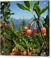 Huckleberry Flowers Atop Huckleberry Mountain In Glacier National Park Montana Acrylic Print