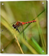 Hudsonian Whiteface Dragonfly Acrylic Print