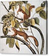 Hudsons Bay Squirrel Acrylic Print