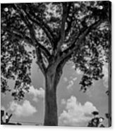 Huge Tree 12 Acrylic Print