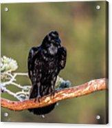 Huginn The Raven Acrylic Print