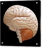 Human Brain Acrylic Print by Richard Newstead