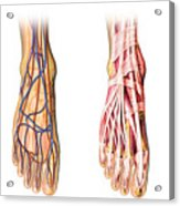 Human Foot Anatomy Showing Skin, Veins Acrylic Print