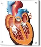 Human Heart Anatomy, Artwork Acrylic Print by Jose Antonio PeÑas
