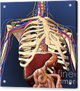 Human Skeleton Showing Digestive System Acrylic Print