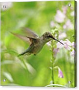 Hummer And Obedient Plant Acrylic Print