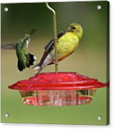 Hummer Vs. Finch 2 Acrylic Print