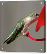 Humming Bird 10 Acrylic Print