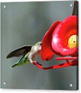 Humming Bird 6 Acrylic Print