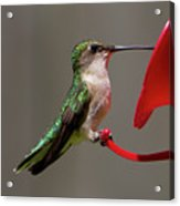 Humming Bird 8 Acrylic Print
