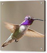 Humming Bird Freeze Frame Acrylic Print