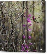 Humming Bird In Nature Acrylic Print