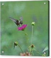 Humming Bird On A Cosmo Acrylic Print