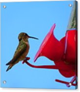 Humming In On The New Feed Sack Acrylic Print
