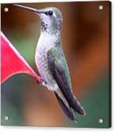 Hummingbird 1 Acrylic Print