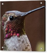 Hummingbird 16 Acrylic Print
