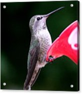Hummingbird 23 Acrylic Print