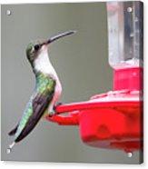 Hummingbird 33 Acrylic Print