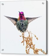 Hummingbird 7445-021418-1cr Acrylic Print