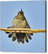 Hummingbird Airing Wings Acrylic Print