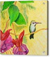Hummingbird Amongst The Fuchsia Acrylic Print